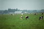 Dairy Cows, Fernwood, Humboldt County, ACFV01P14_05.2459
