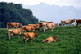 Dairy Cows, Fernwood, Humboldt County, ACFV01P14_07.2459