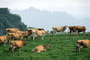Dairy Cows, Fernwood, Humboldt County, ACFV01P14_08.2459