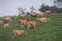 Dairy Cows, Fernwood, Humboldt County, ACFV01P14_09.2459