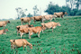 Dairy Cows, Fernwood, Humboldt County, ACFV01P14_10
