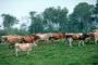 Dairy Cows, Fernwood, Humboldt County, ACFV01P14_11.4098