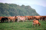Dairy Cows, Fernwood, Humboldt County, ACFV01P14_12.4098