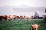 Dairy Cows, Barn, Fernwood, Humboldt County, ACFV01P14_13