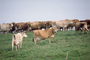 Dairy Cows, Fernwood, Humboldt County, ACFV01P14_14.2459