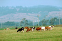 Dairy Cows, Fernwood, Humboldt County, ACFV01P14_15.4098