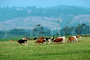 Dairy Cows, Fernwood, Humboldt County, ACFV01P14_16.4098