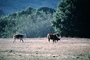 Beef Cows, north of Eureka, Humboldt County, ACFV01P15_04