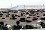 Beef Cows Waiting to be slaughtered