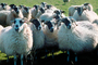 Sheep, Kilmartin Valley, Scotland, ACFV02P08_19.1567