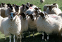 Sheep, Kilmartin Valley, Scotland, ACFV02P08_19