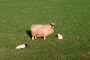 Sheep, Lamb, Kilmartin Valley, Scotland, ACFV02P09_01.4098