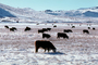 Cows grazing in the snow, Del Norte, Colorado, Beef Cows, ACFV02P14_05