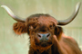 Scottish Highland Cattle, Bos taurus, ACFV02P15_14.4099