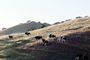 Cow, Sonoma County, Hills, Hillside, ACFV03P09_10
