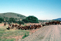 Dirt Road and Cows, Beef Cows, unpaved, ACFV03P10_07