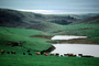 Cows, Marin County, California, USA