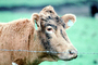 Cow, Cows, Marin County, California, USA, ACFV03P10_13