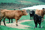 Cow, Cows, Marin County, California, USA, ACFV03P10_14