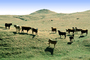 Cows on a Hill, Livermore, California, ACFV03P11_07