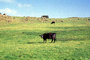 Cows, Nicasio, Marin County, California, ACFV03P12_04
