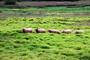 Sheep, Grass, Carmel, California, ACFV03P12_08