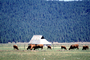 Barn, Grazing Cows, Pine Forest, Klamath, Oregon, Beef Cows, ACFV03P13_01