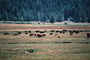 Grazing Cows, near Lake Almanor, California, Beef Cows, ACFV03P13_05