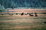 Grazing Cows, near Lake Almanor, California, Beef Cows