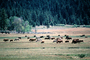 Grazing Cows, near Lake Almanor, California, Beef Cows, ACFV03P13_07