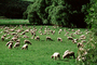 sheep, Te Anu, New Zealand, ACFV03P14_17