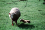sheep, lamb, near Greymouth, New Zealand, ACFV03P15_01