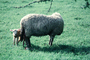 lamb, sheep, near Greymouth, New Zealand, ACFV03P15_02