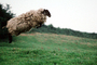 sheep jumping, jump, Cotswolds, England, ACFV03P15_16