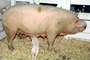 mother pig, piglets, sow, ACFV04P02_10
