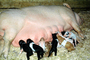 mother pig, piglets, sow