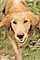 Golden Retriever, Santa Rosa, Sonoma County, California, ADSPCD0652_120C