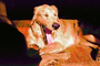 Golden Retriever, Santa Rosa, Sonoma County, California, ADSPCD0653_121B