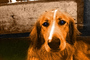 Golden Retriever, Santa Rosa, Sonoma County, California, ADSPCD0654_005B