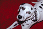 Dalmation, Moorpark, California, ADSV01P02_06.1710