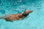 Dog swimming in a pool, water, Ripples, Wet, Liquid, medium dog breed, Wavelets, ADSV01P04_18.1710