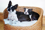 Two Dogs in a wicker basket, puppy, puppies, ADSV03P13_06
