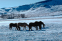 Horses Grazing in the Snow, Del Norte, Colorado, AHSV02P04_12.4099