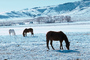 Horses Grazing in the Snow, Del Norte, Colorado, AHSV02P04_13.4099