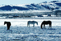 Southern Colorado in the Winter, Horses, AHSV02P04_15B