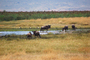 Wildebeest, watering hole, AMAD01_170