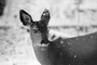 Deer, Mount Rainier National Park, Washington, AMAPCD0654_096