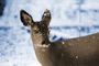 Deer in the Snow, Mount Rainier National Park, Washington, AMAPCD0654_096B