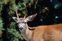 Deer Buck, Bon Tempe Lake, Marin County, California