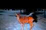 Deer in the Snow, AMAV01P08_19.4100